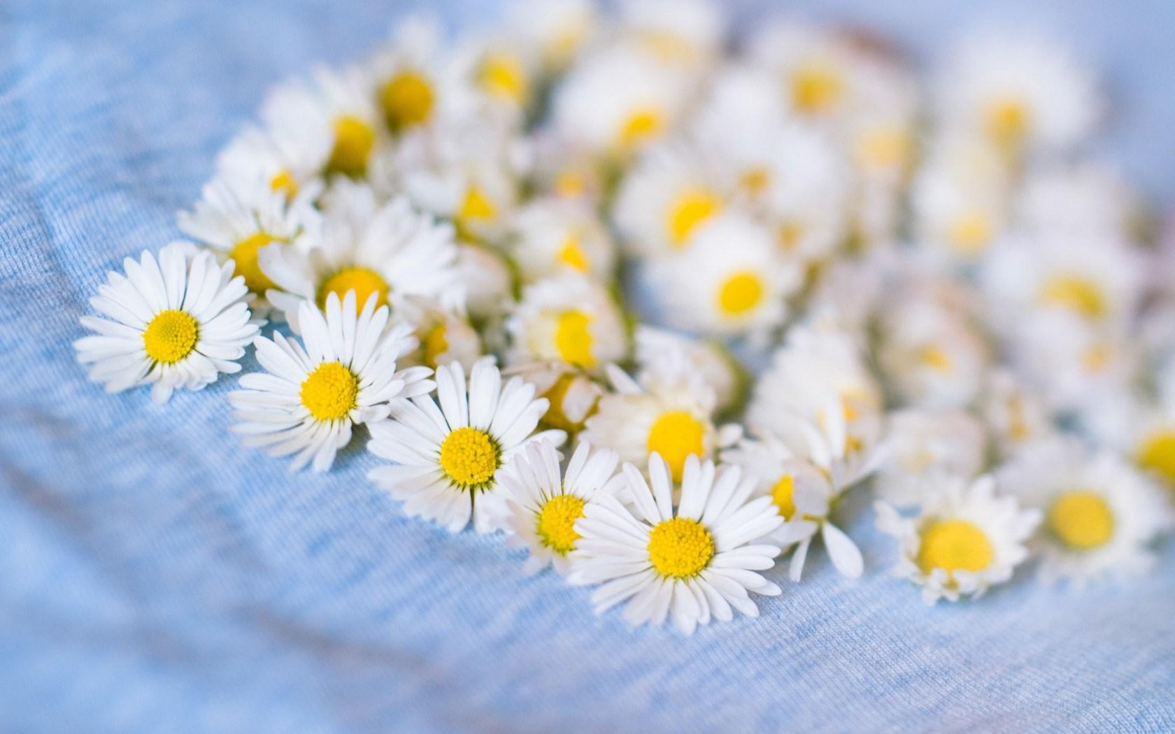 Chamomile White Flowers