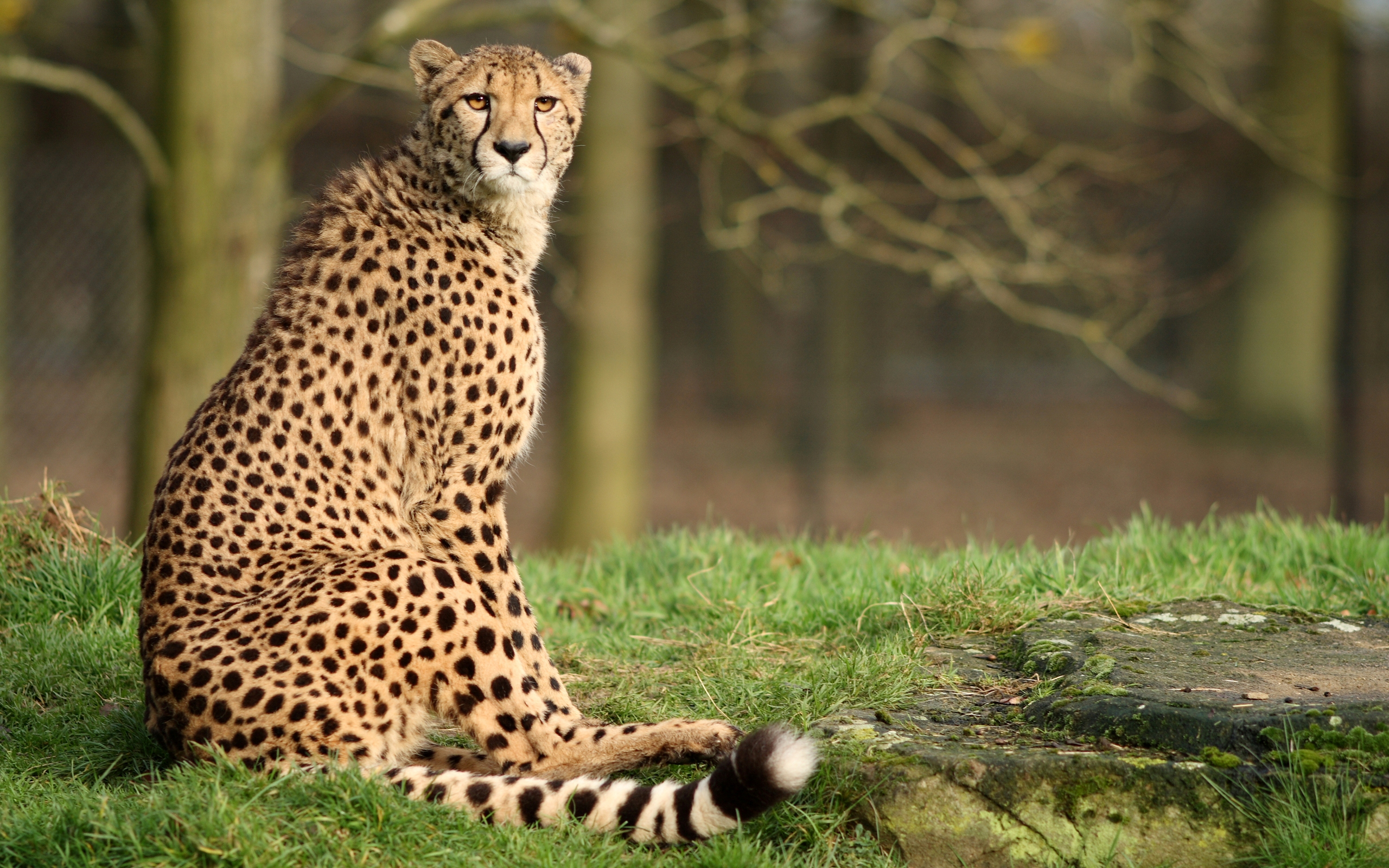 2560x1600 Animal Cheetah