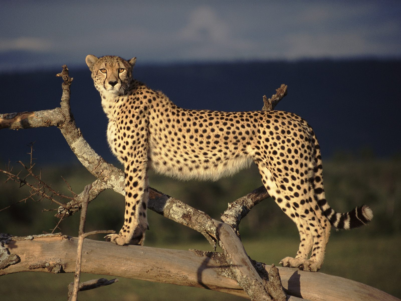 Cheetah cat