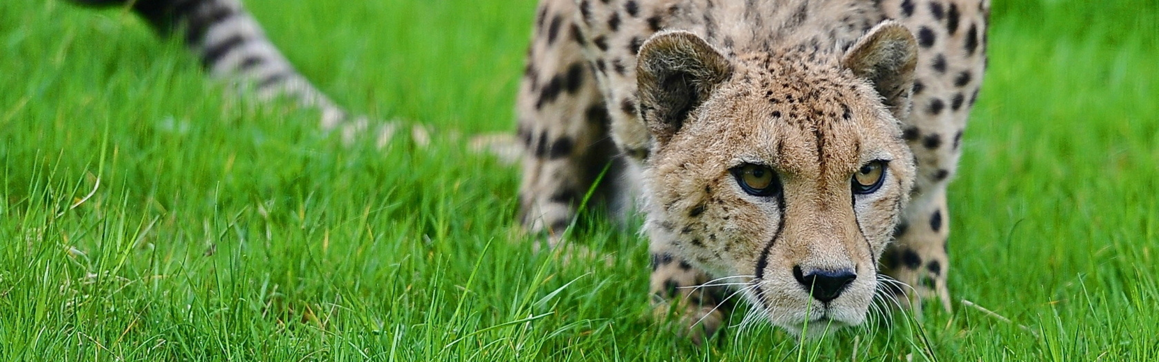3840x1200 Wallpaper cheetah, grass, hunting, pose, lurk, big cat, spotted