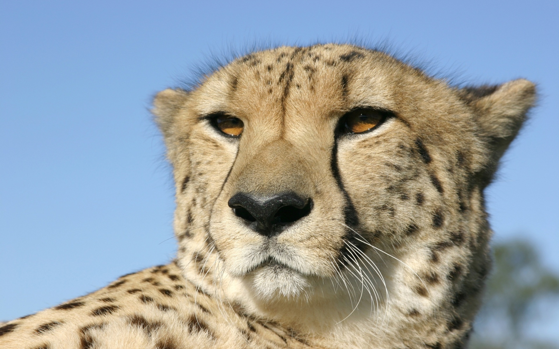 Closeup Cheetah Head Portrait (click to view)
