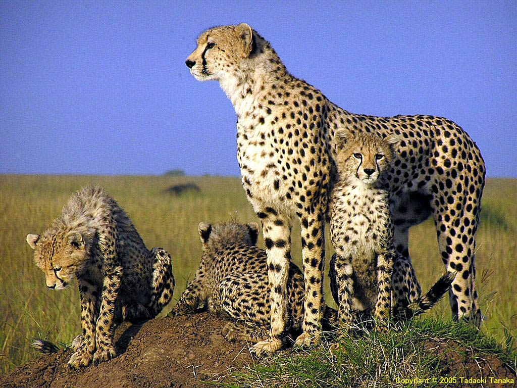 free Cheetah wallpaper wallpapers download