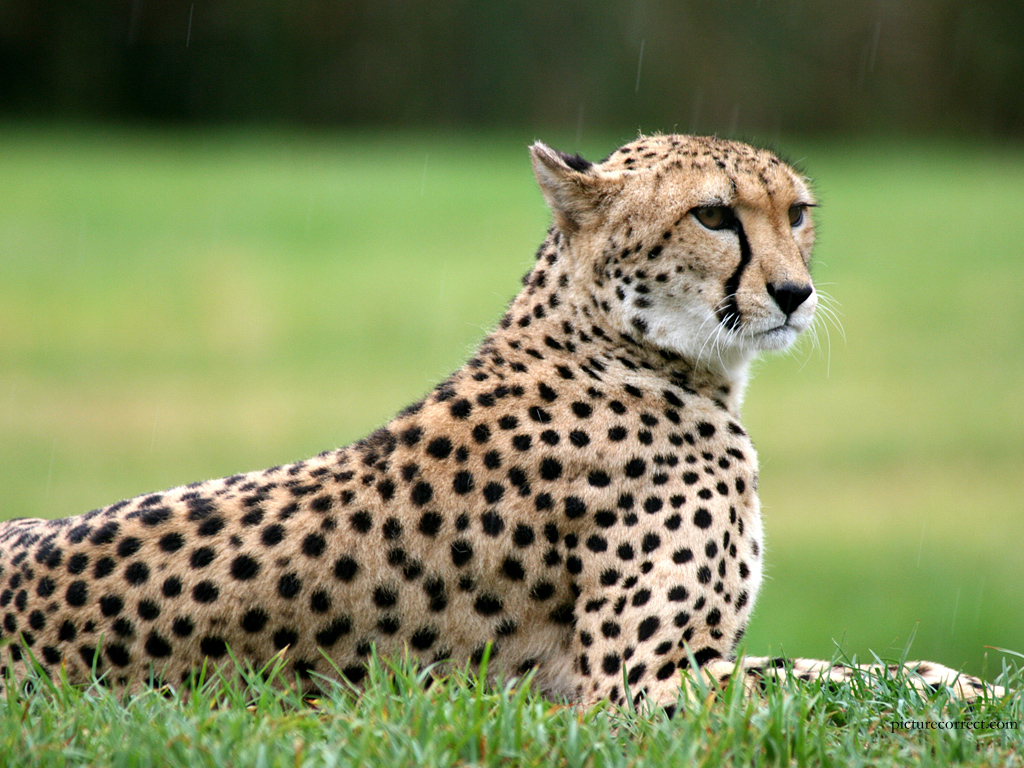 Information About Cheetahs For Kids · Cheetah Facts For Kids | Cheetah Habitat & Diet