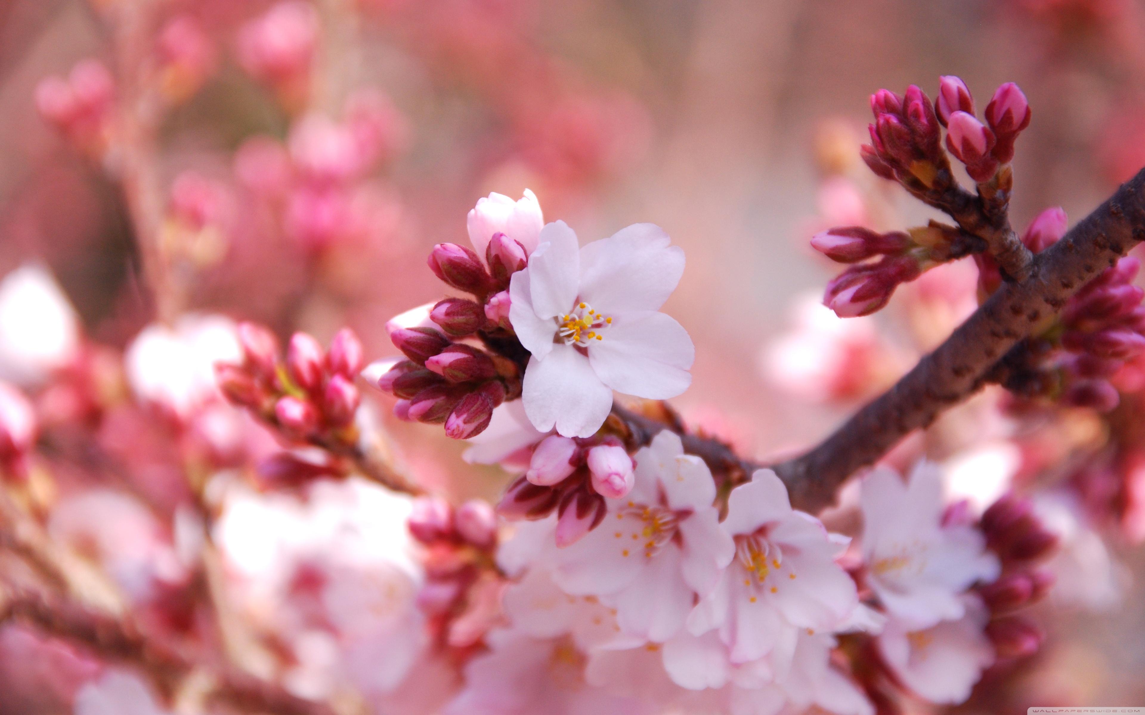 Cherry Blossom HD
