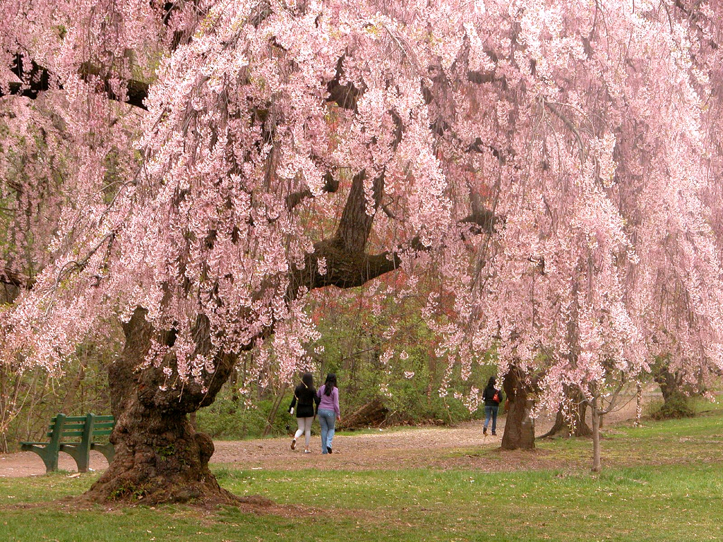 Cherry Blossoms in Newark, New Jersey