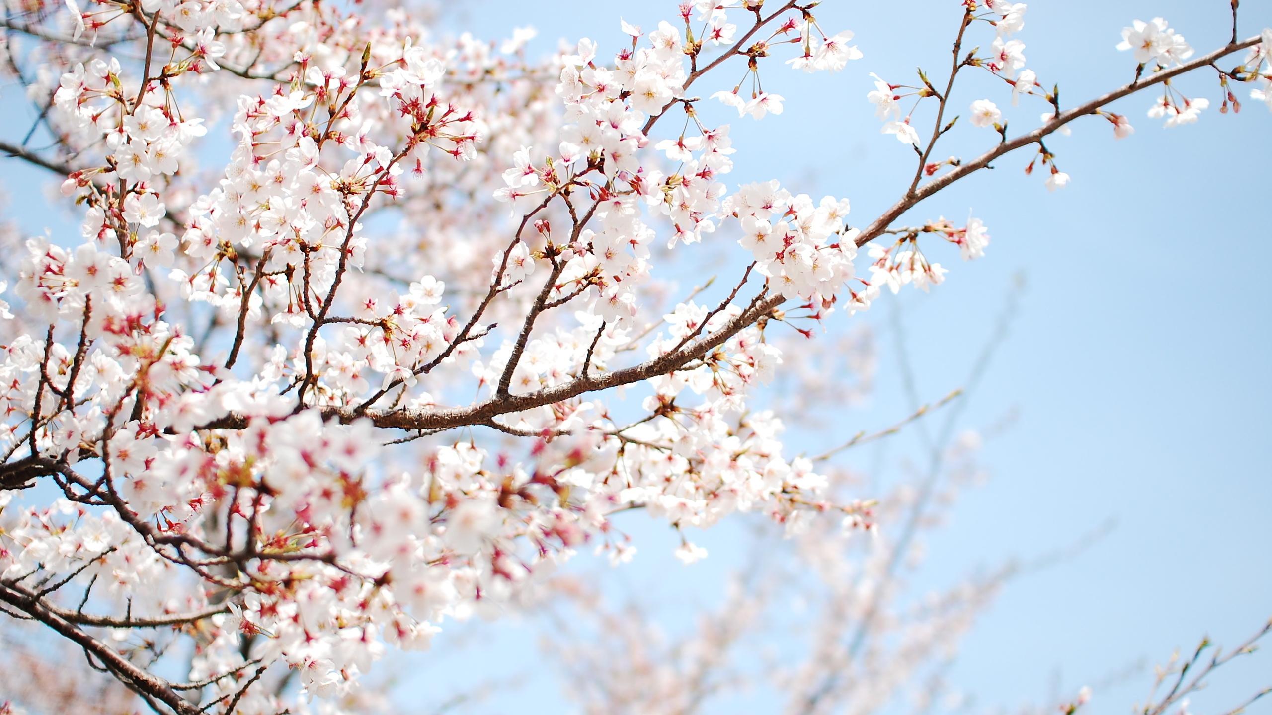 ... Cherry Blossom Wallpaper ...
