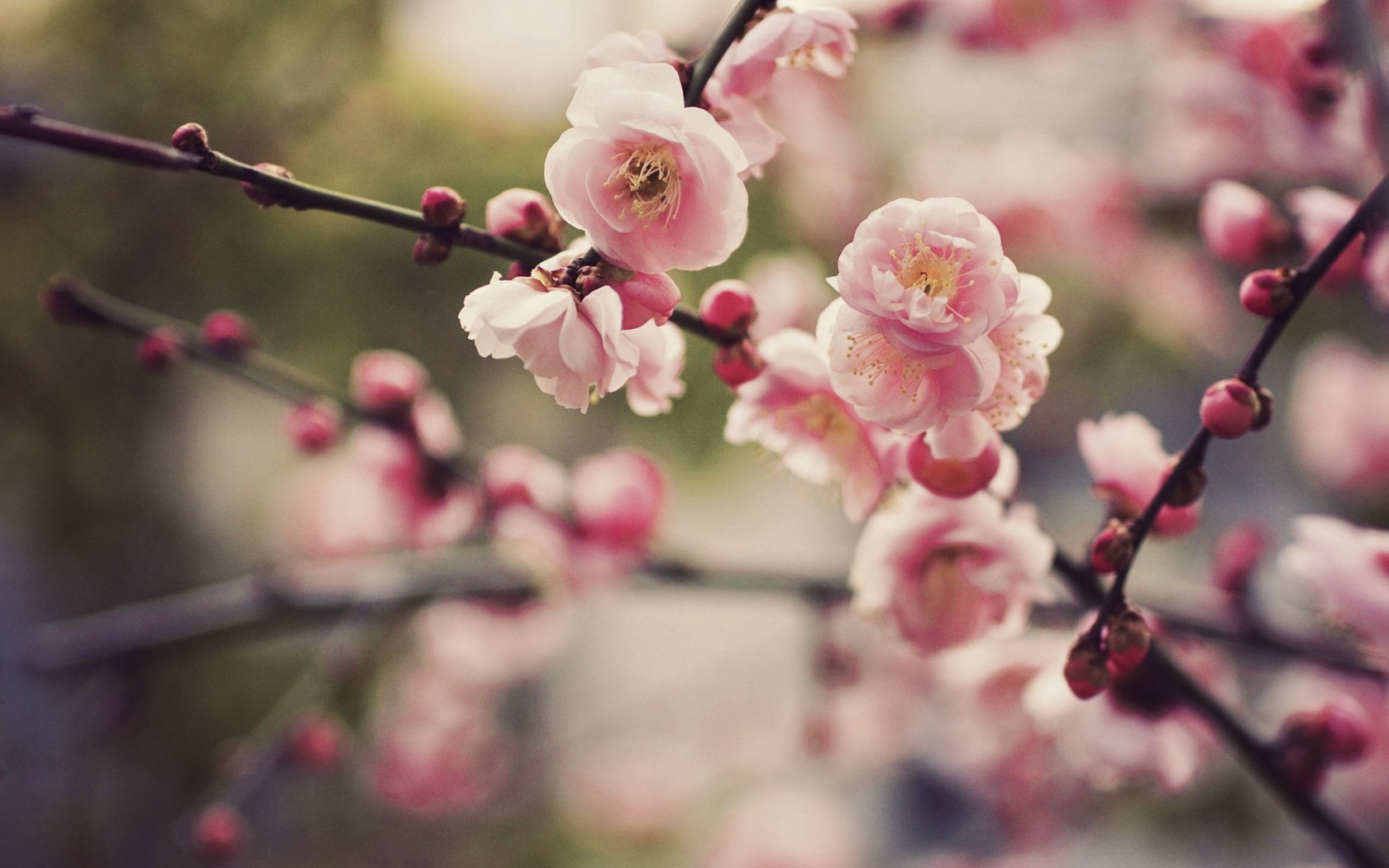 ... Gorgeous Cherry Blossom