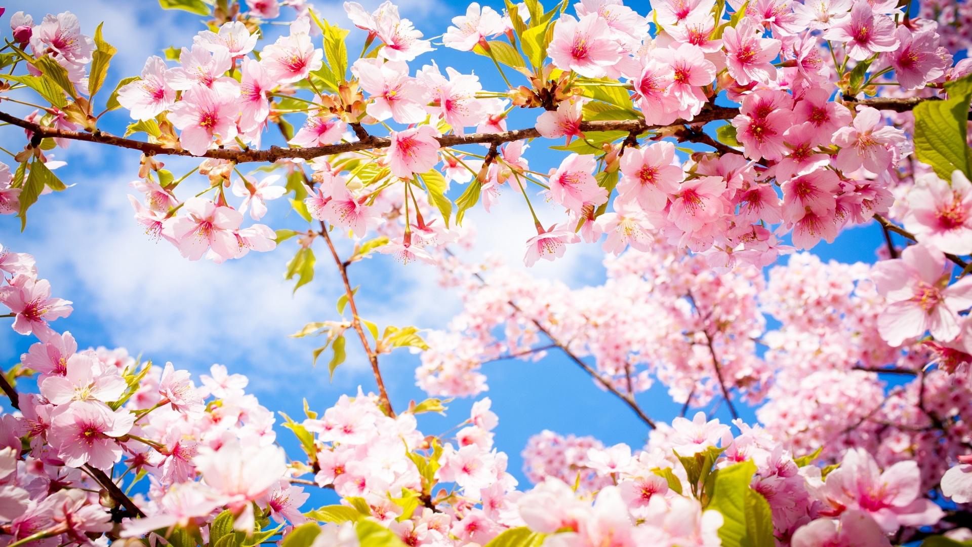Cherry Blossom · Cherry Blossom · Cherry Blossom ...
