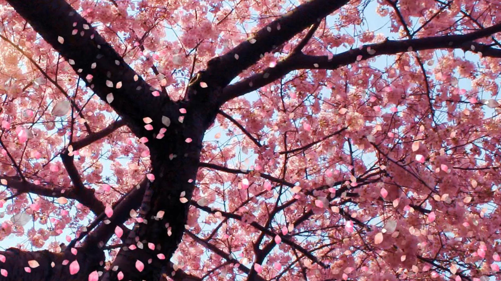 Cherry Blossom Wallpaper Desktop