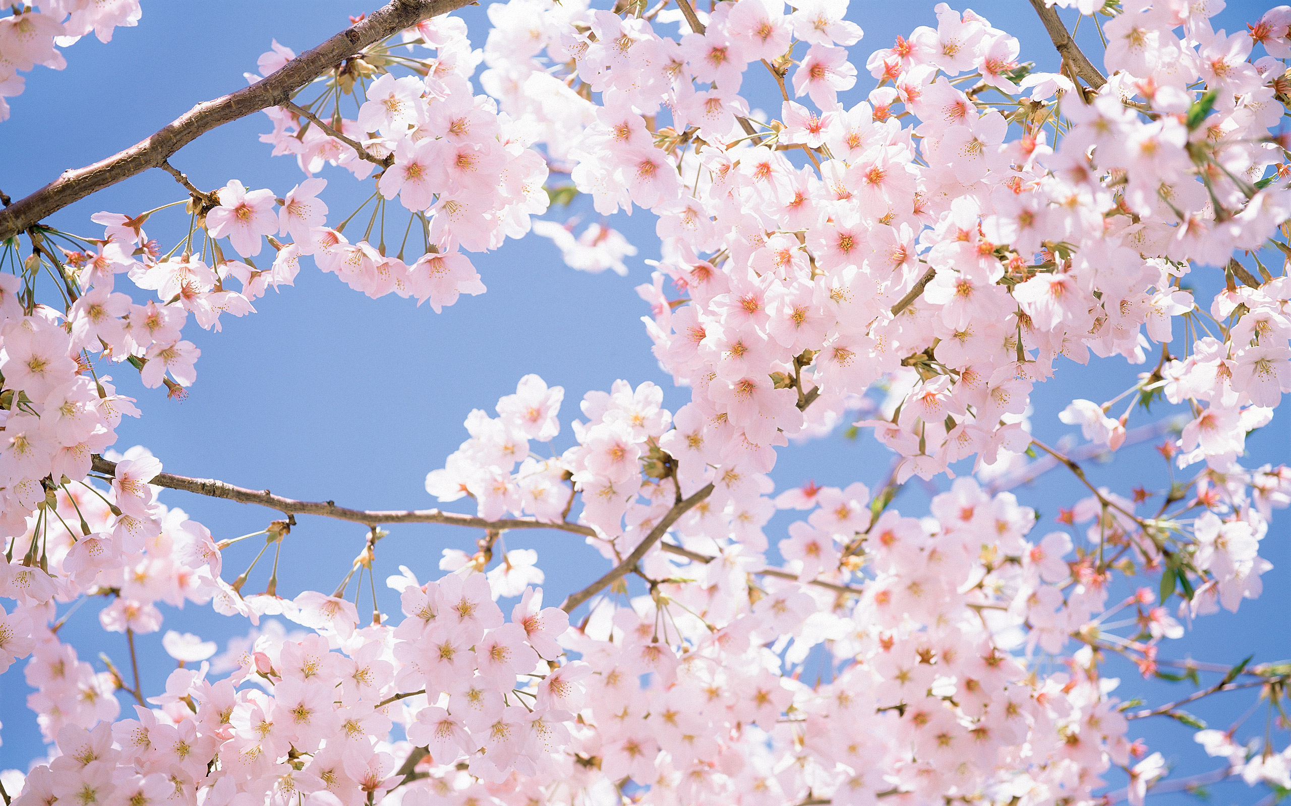 Cherry Blossom Wallpaper 2560x1600 42441