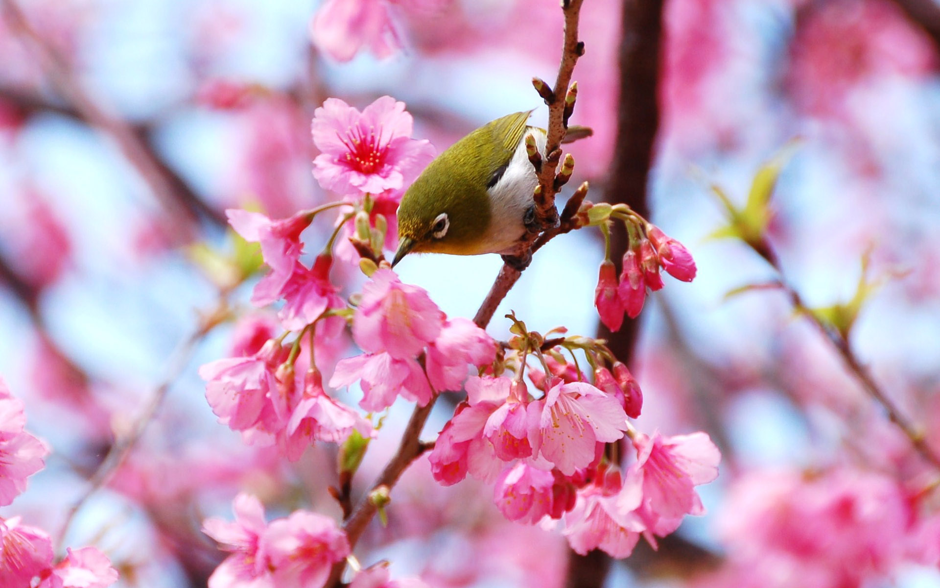 Cherry blossoms bird