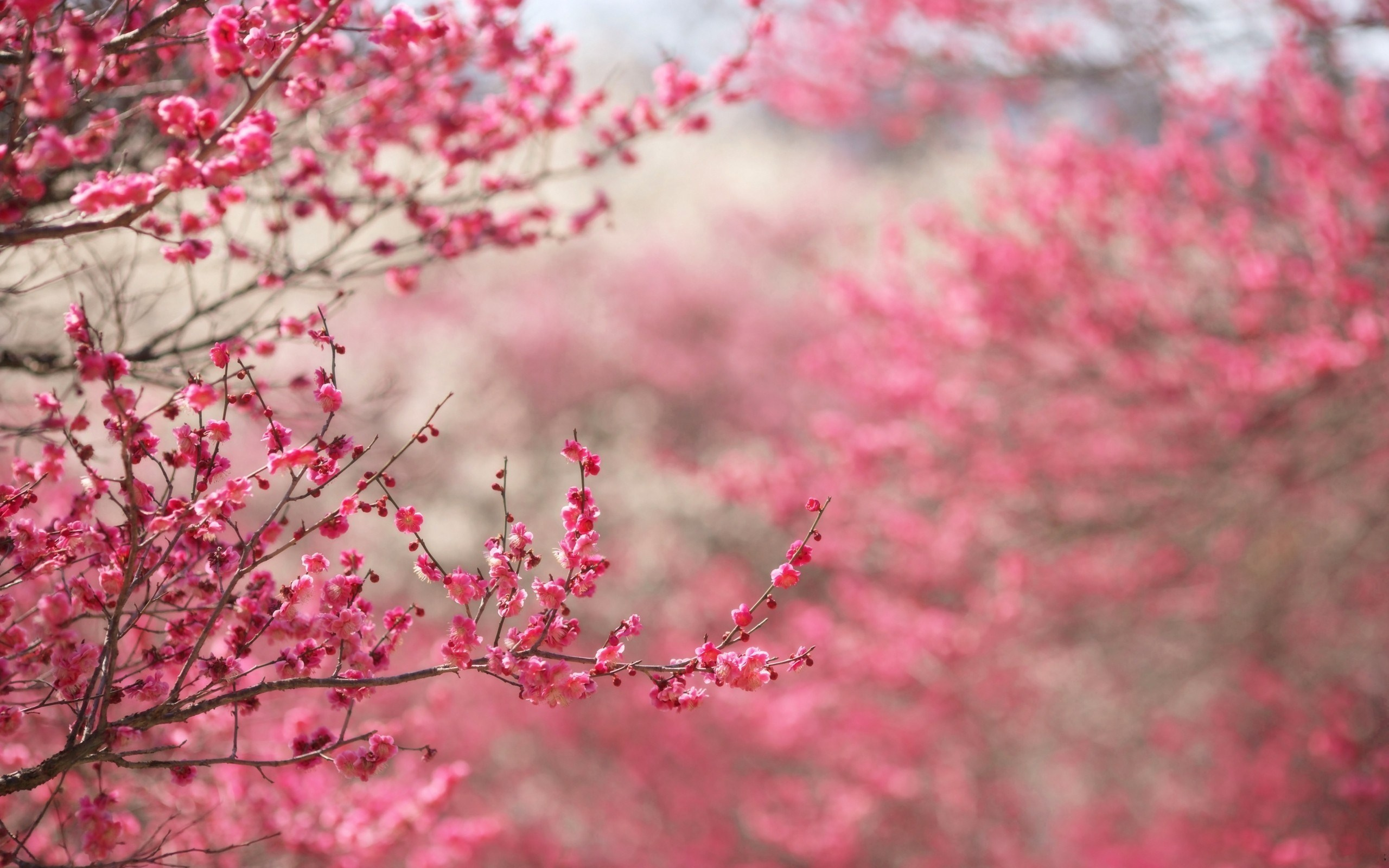 Cherry Blossoms Pink Spring Nature