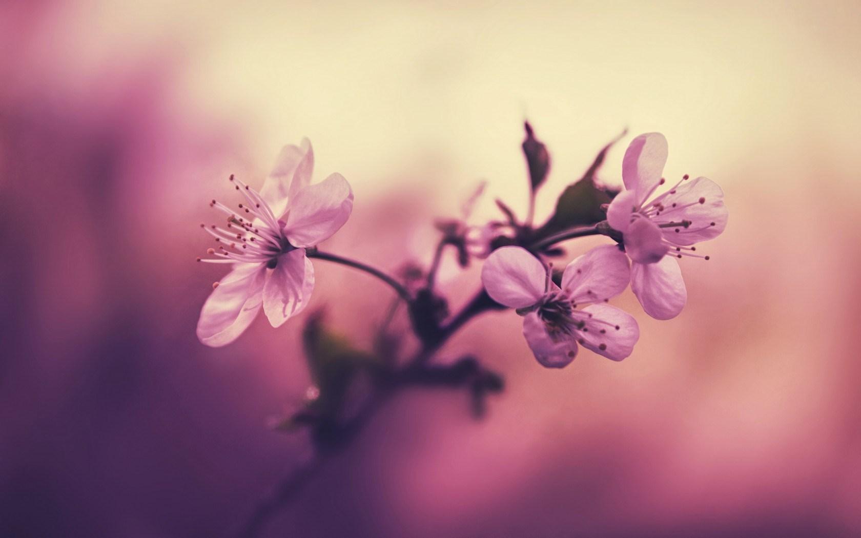 Cherry Branch Flowers Petals Pink