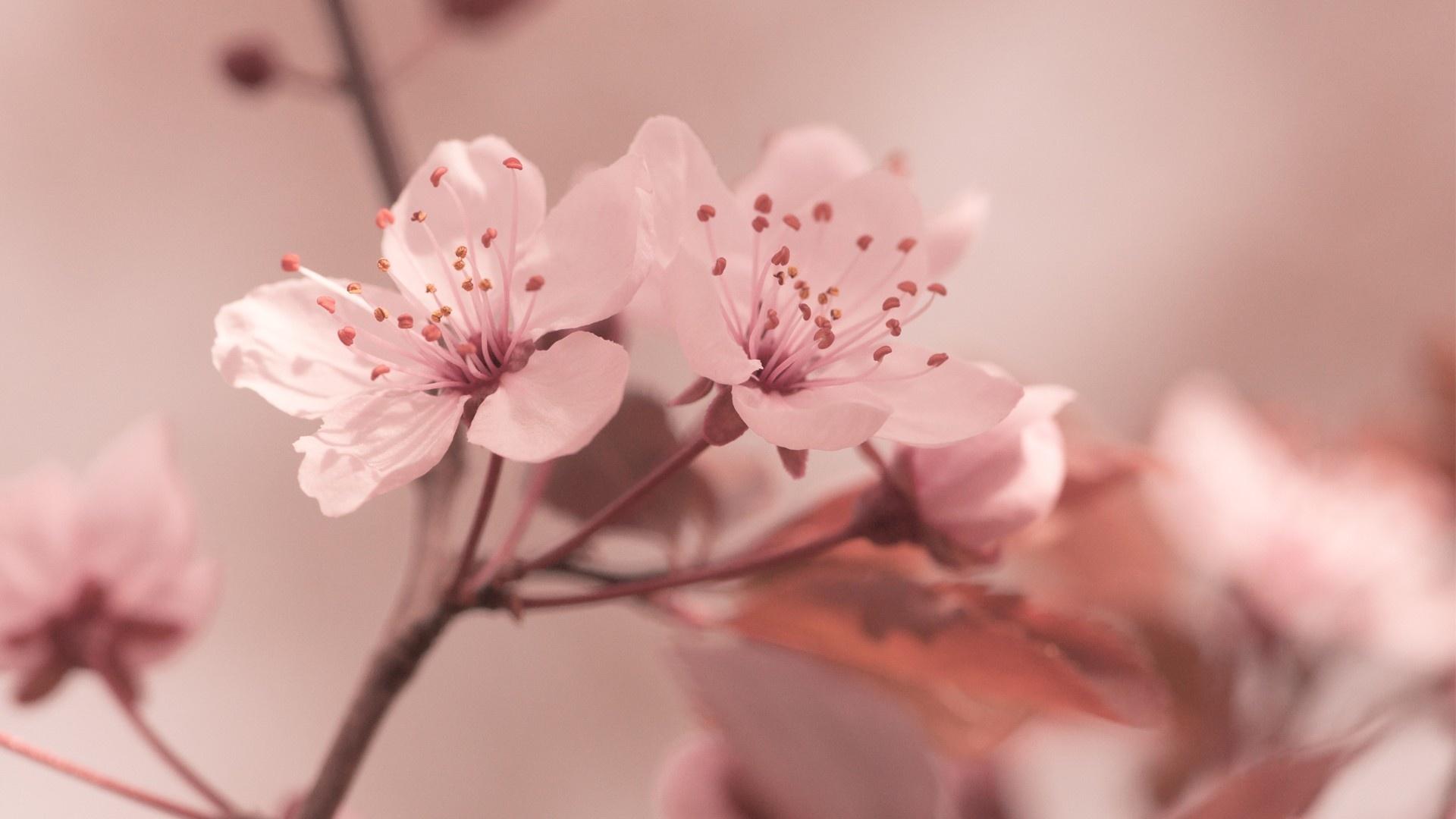Cherry Flowers Spring Macro