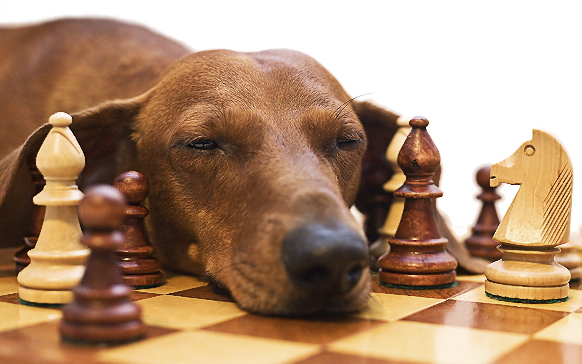 Chess dog intelligence