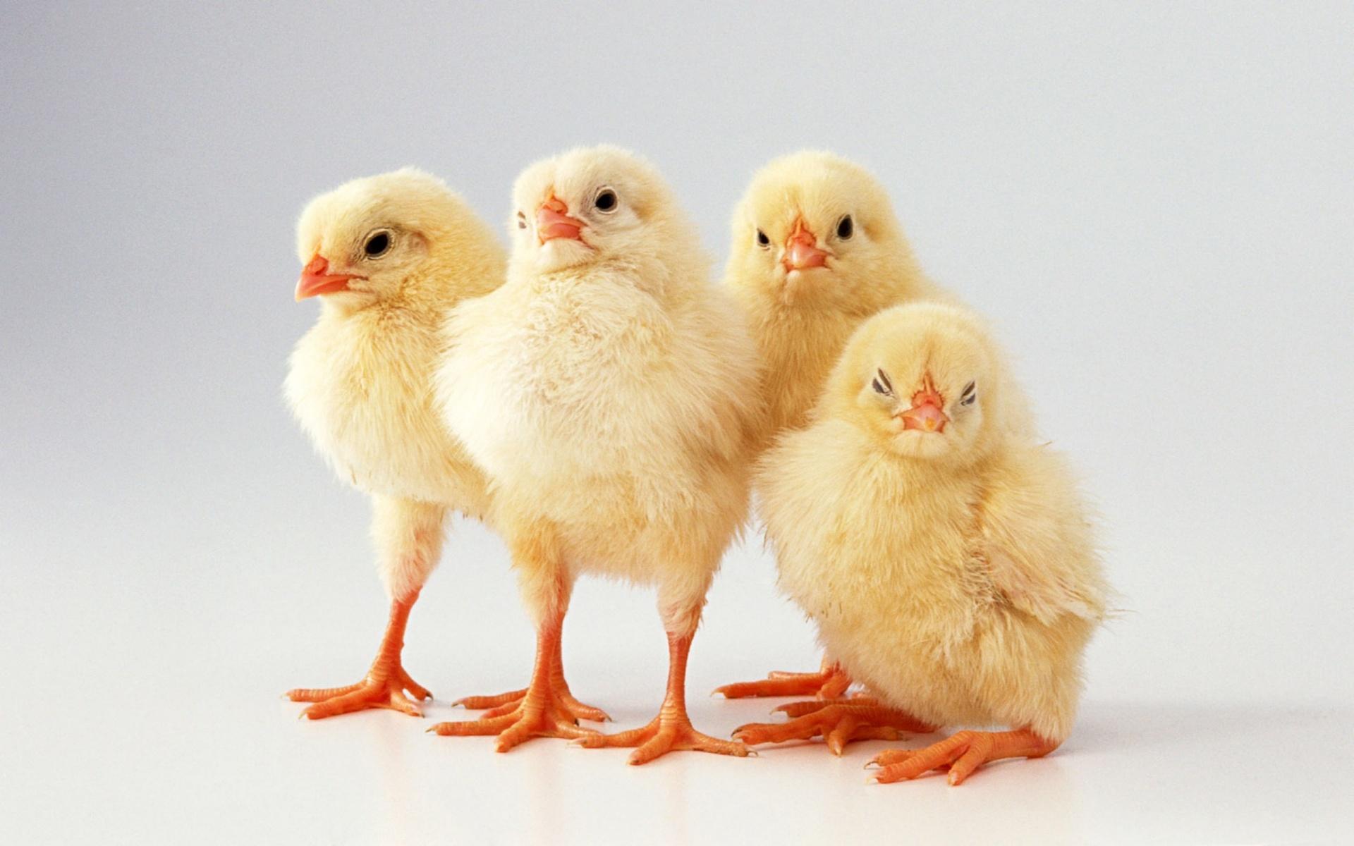 chickens full hd wallpaper for desktop