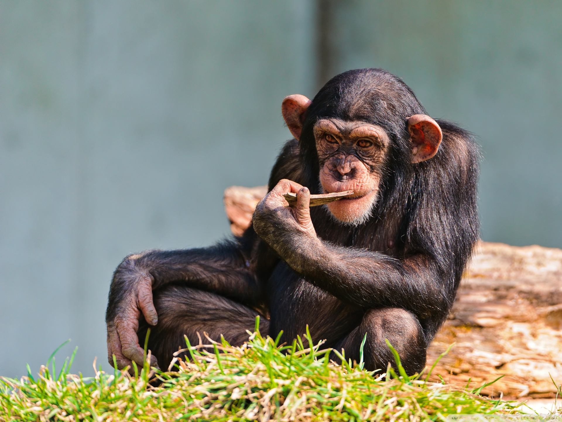 Chimp THinking