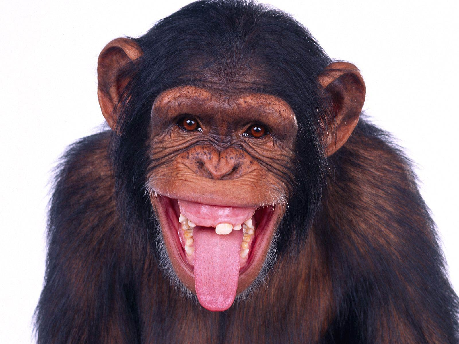 free Chimpanzee wallpaper wallpapers and background