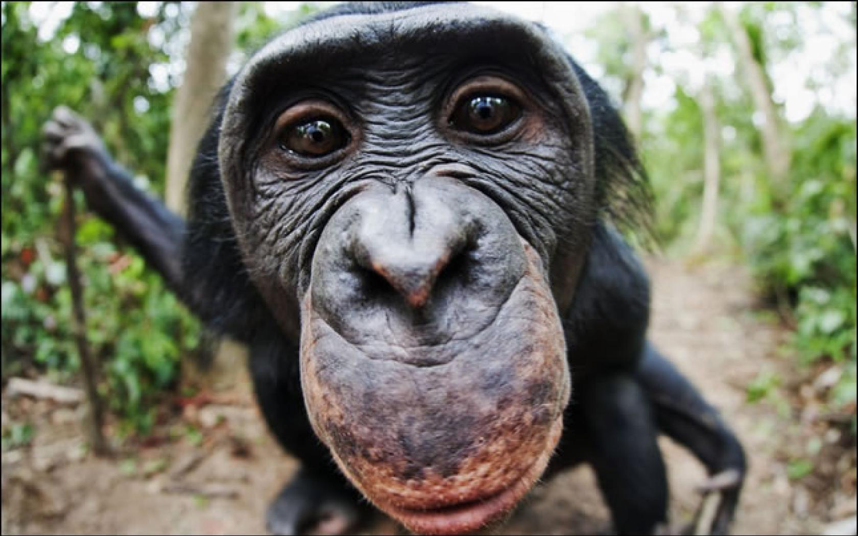 funny_chimpanzee-hd-wallpapers close-up-chimpanzee-hd-wallpapers ...