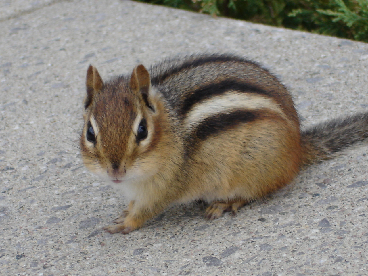Lessons from a Chipmunk