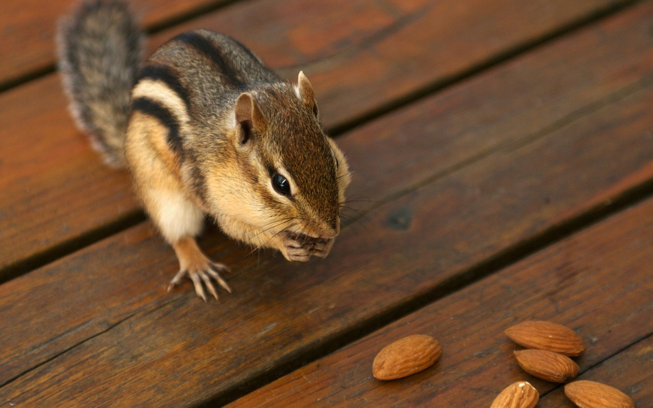 lovely chipmunks photos / chipmunk wallpapers 1280*800 NO.9 Wallpaper