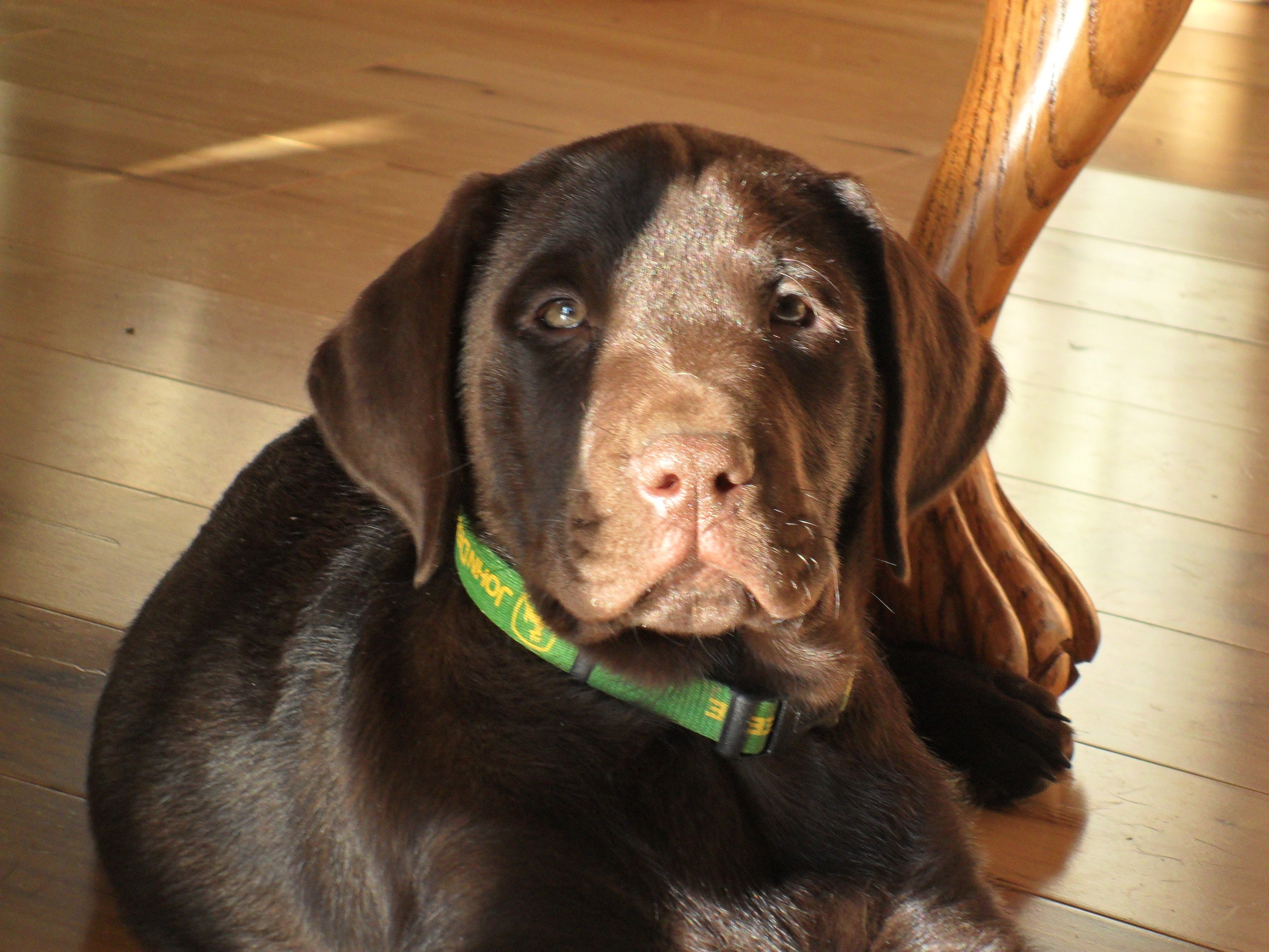 someday on Pinterest | Chocolate Labs, Chocolate Lab Puppies and Labradors