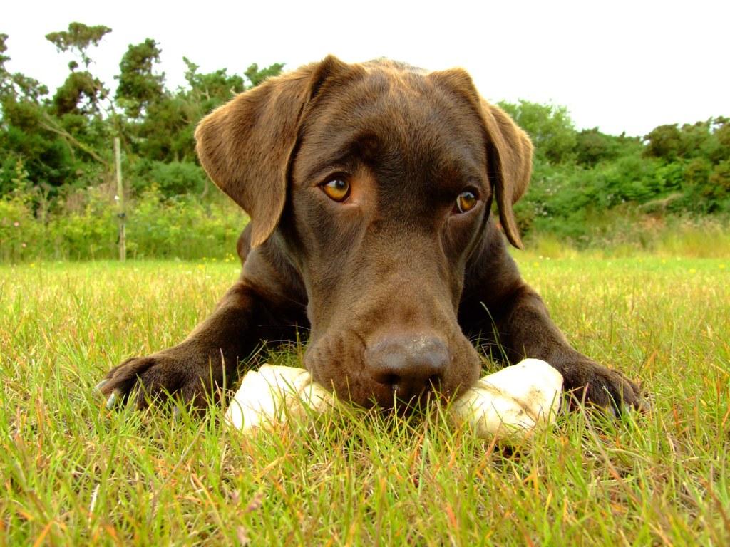 Brown Labrador 12 ...
