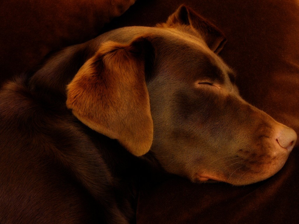 Chocolate Lab Wallpaper ...