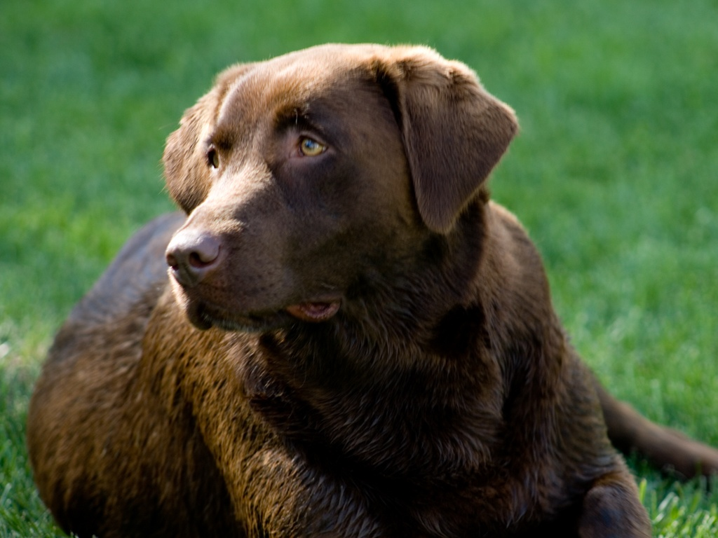 Brown Labrador wallpaper