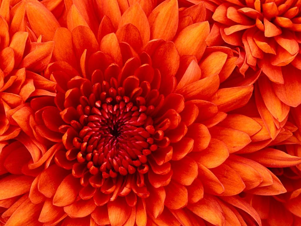 chrysanthemum - windows-7-vista-and-xp-picks Wallpaper