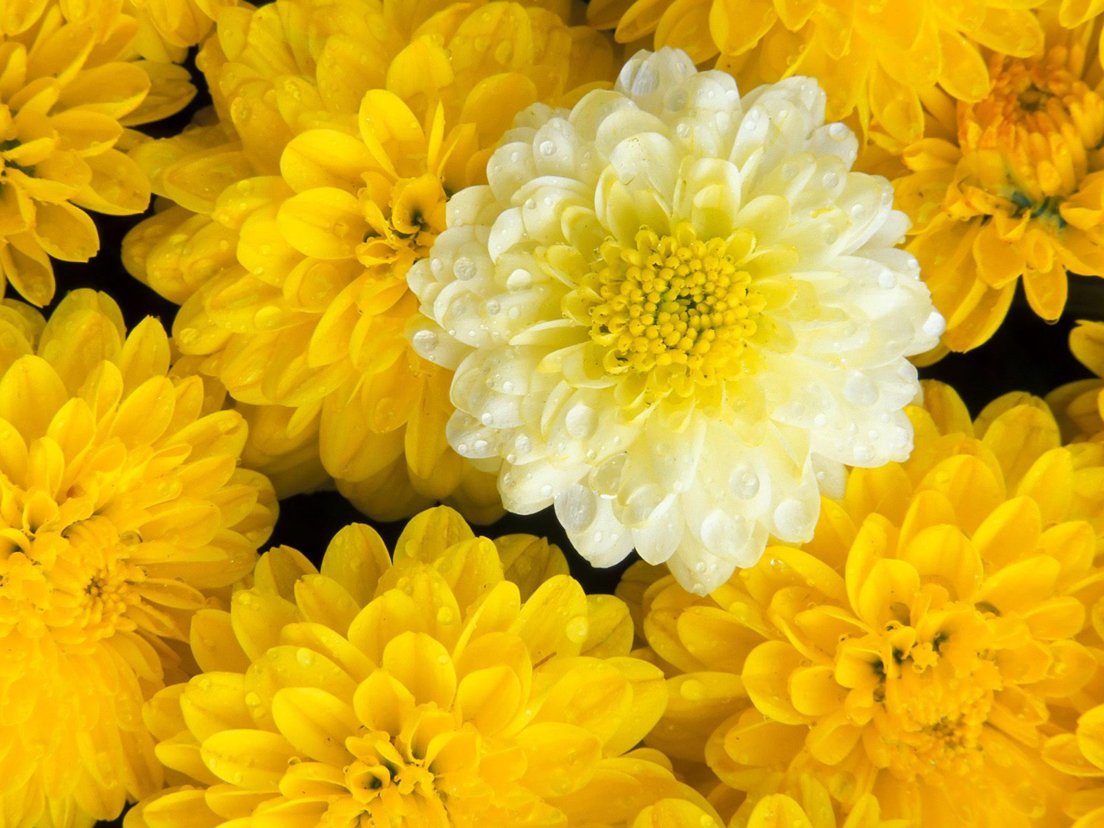 Chrysanthemum Symbolism