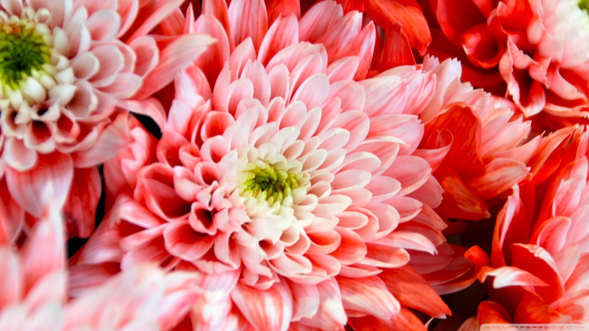 1920x1080 Pink Chrysanthemum wallpaper