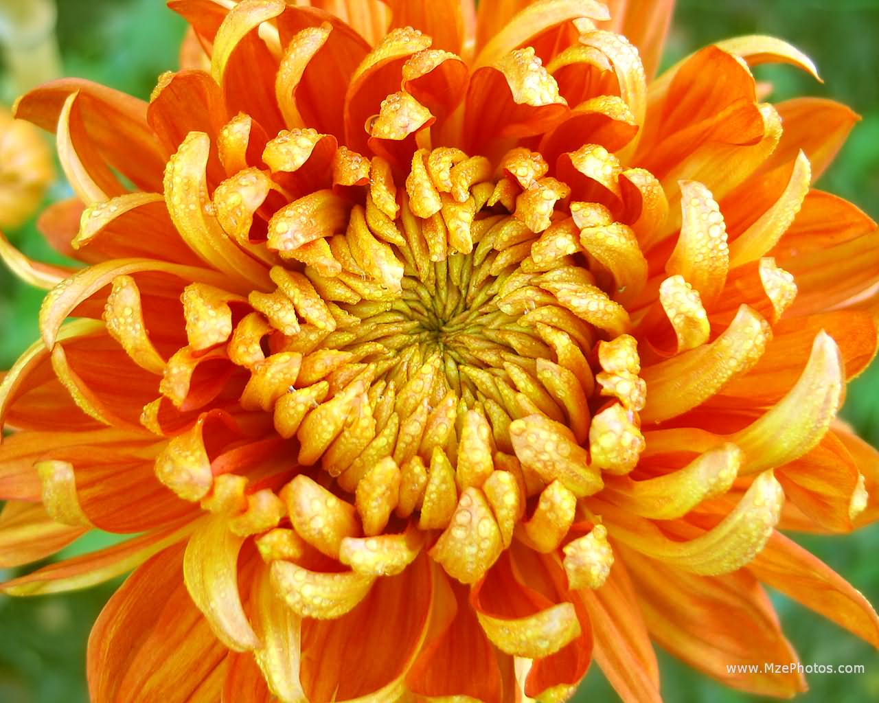 Chrysanthemum Pictures