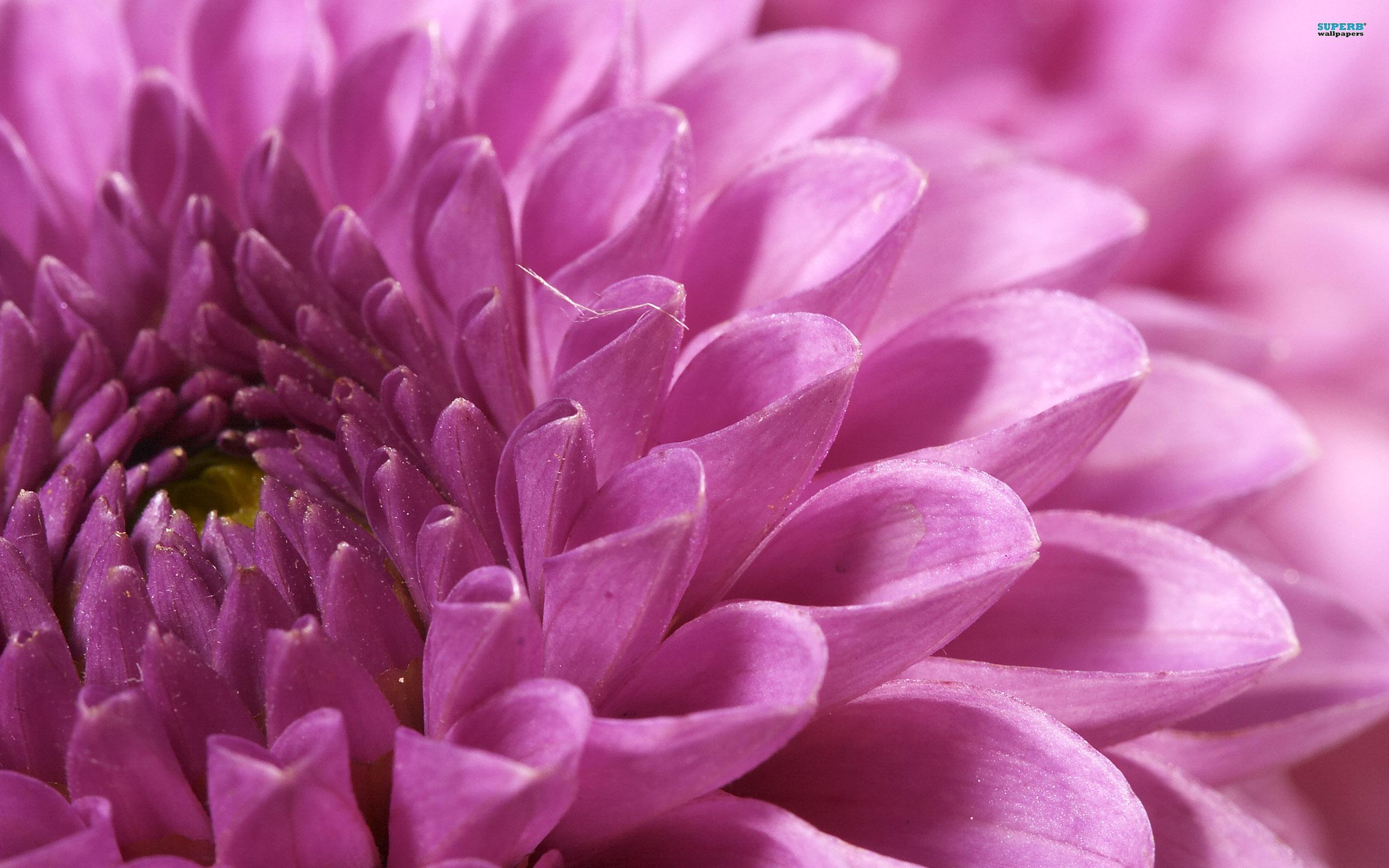 Chrysanthemum Wallpaper 4430