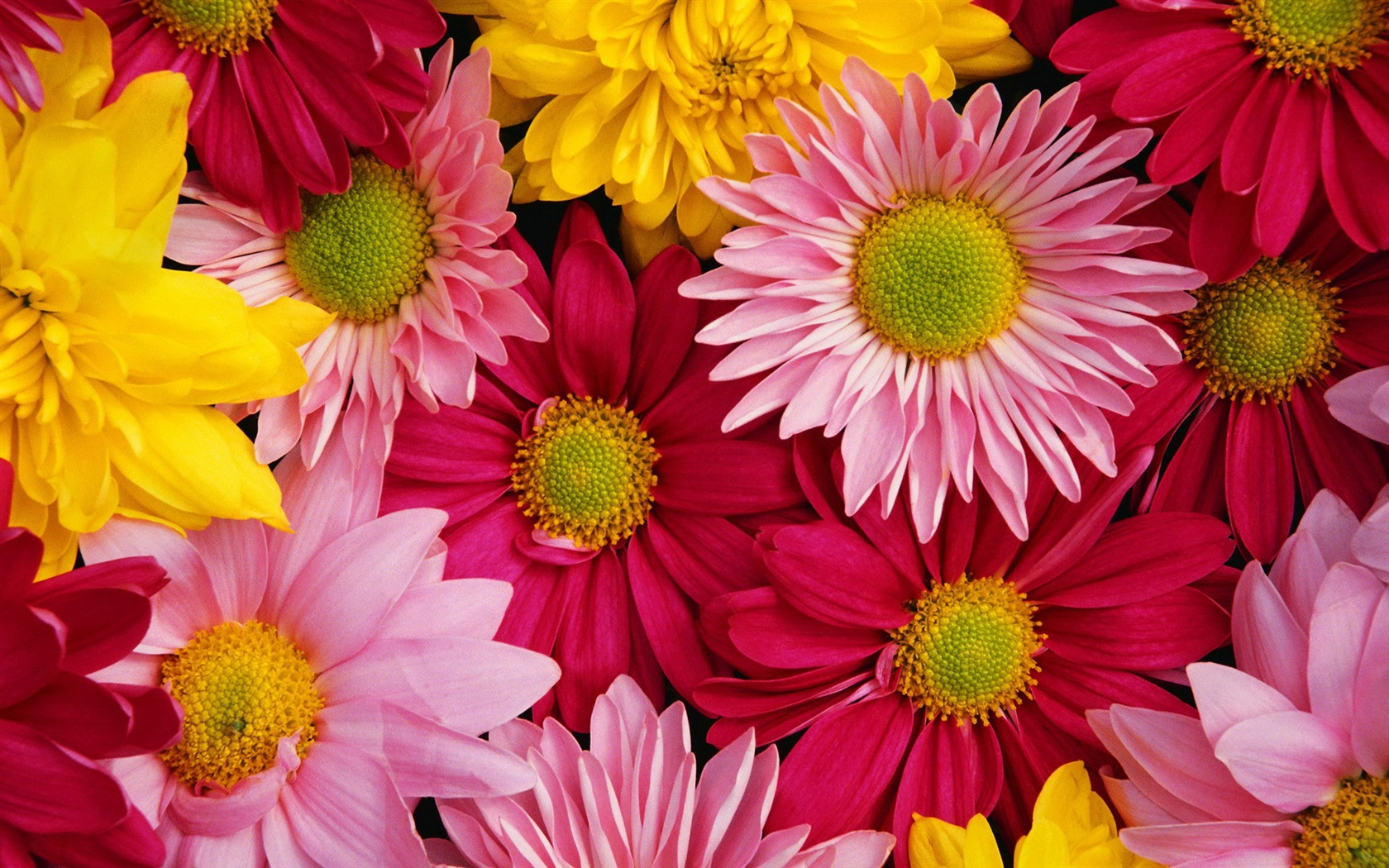 Chrysanthemum; Chrysanthemum Wallpaper; Chrysanthemum Wallpaper ...