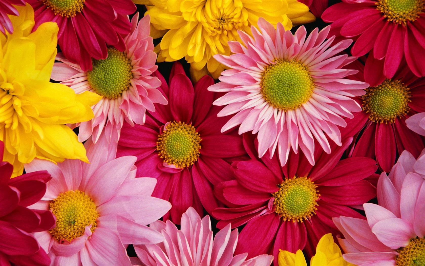 Chrysanthemum Wallpaper