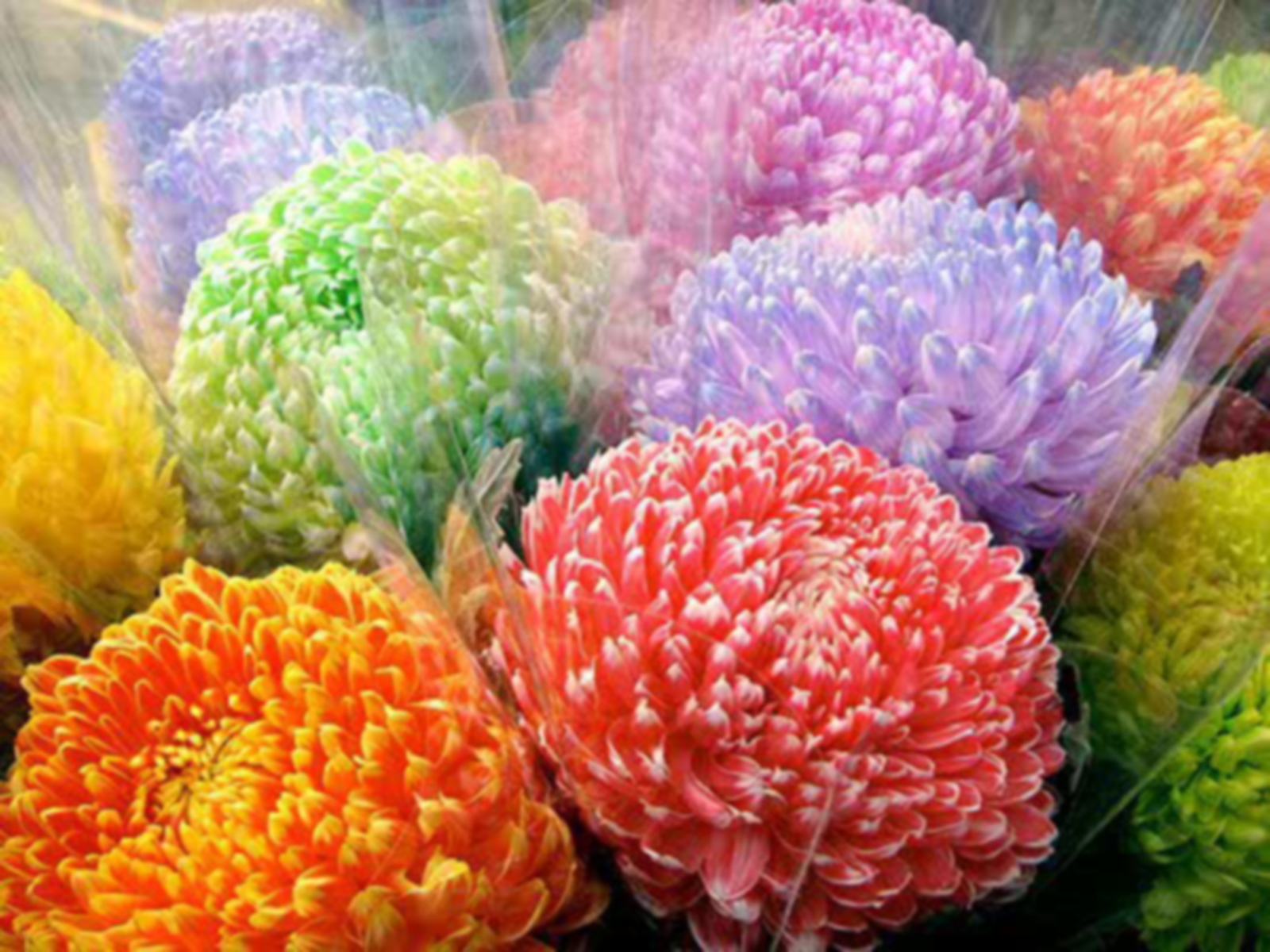 flowers rainbow chrysanthemums