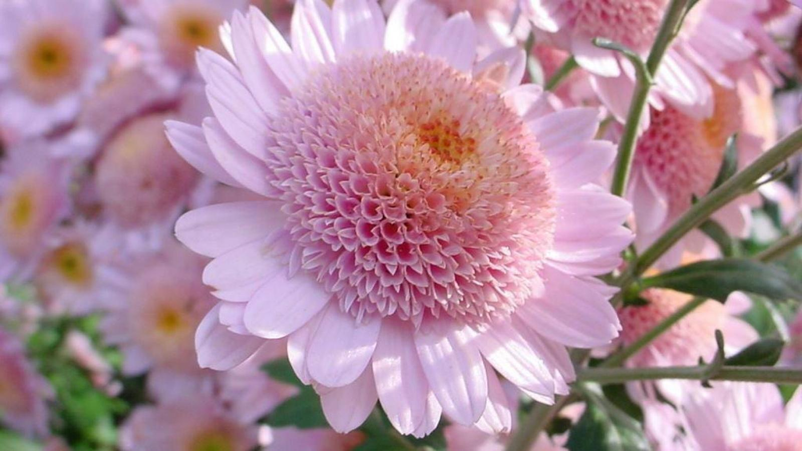 Widescreen resolutions (16:10): 1280x800 1440x900 1680x1050 1920x1200. Normal resolutions: 1024x768 1280x1024. Wallpaper Tags: petal flower chrysanthemum ...