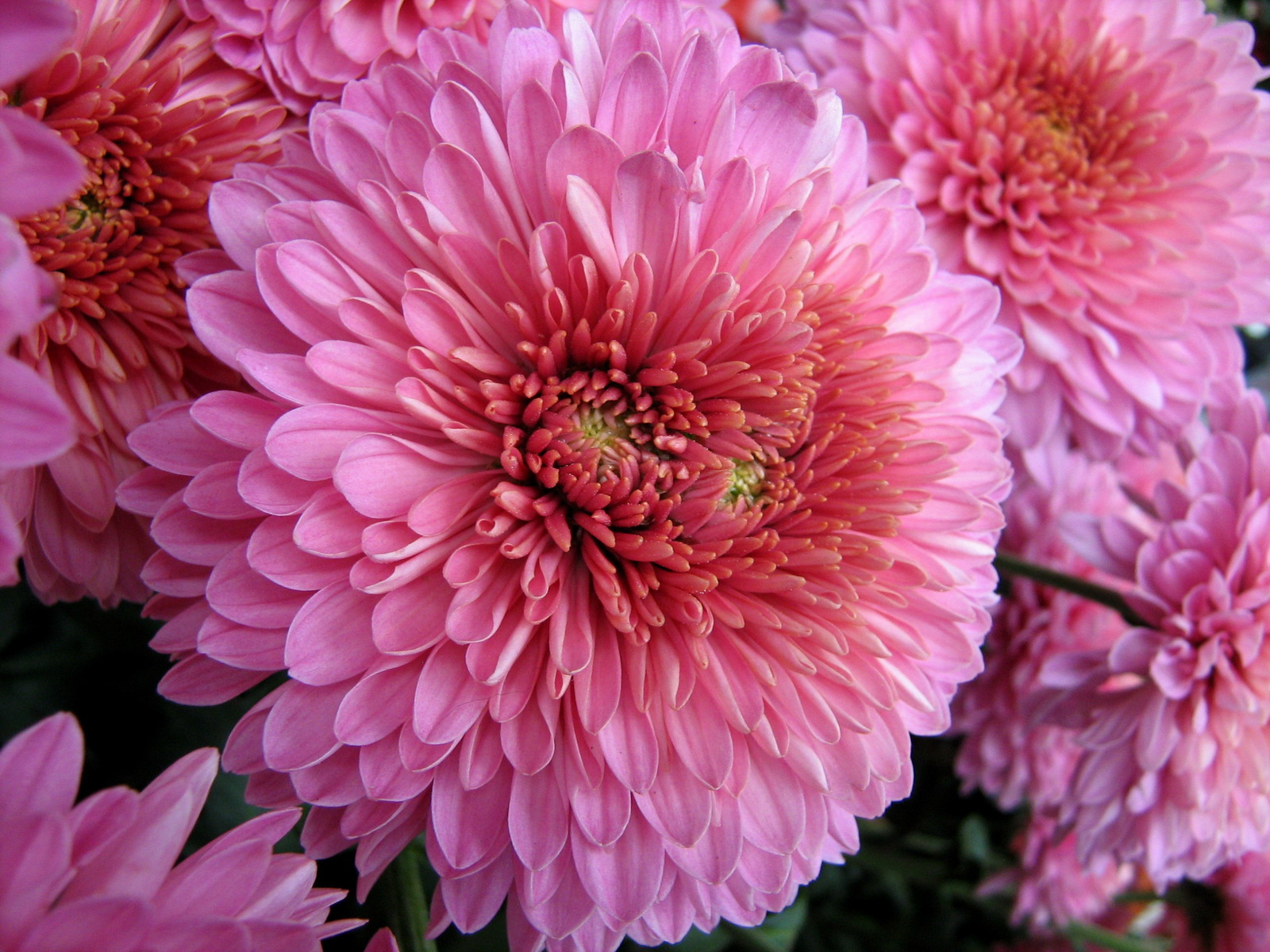 Chrysanthemums Pictures