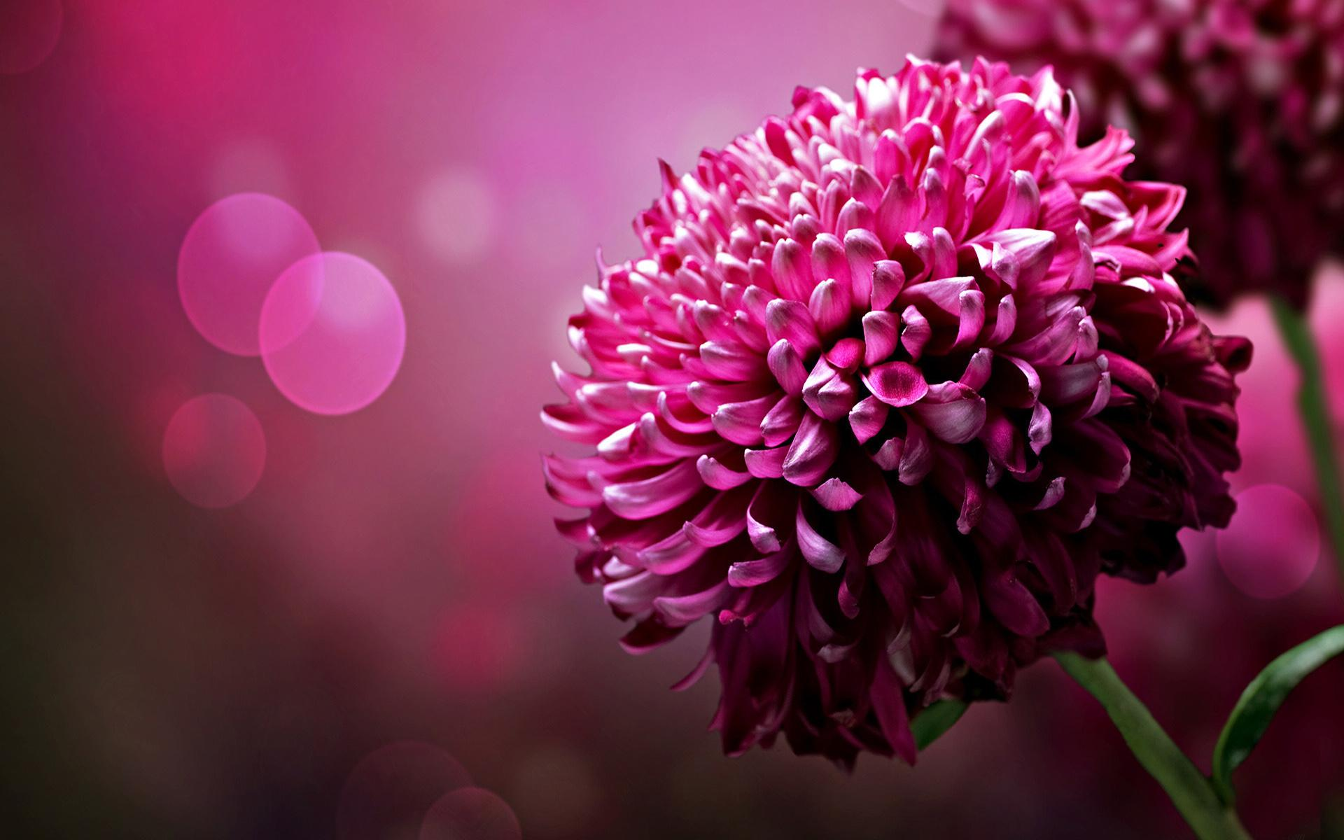 Desktop Wallpaper: Purple Chrysanthemum Flowers Desktop Wallpaper Hd Free Xpx 1920x1200px
