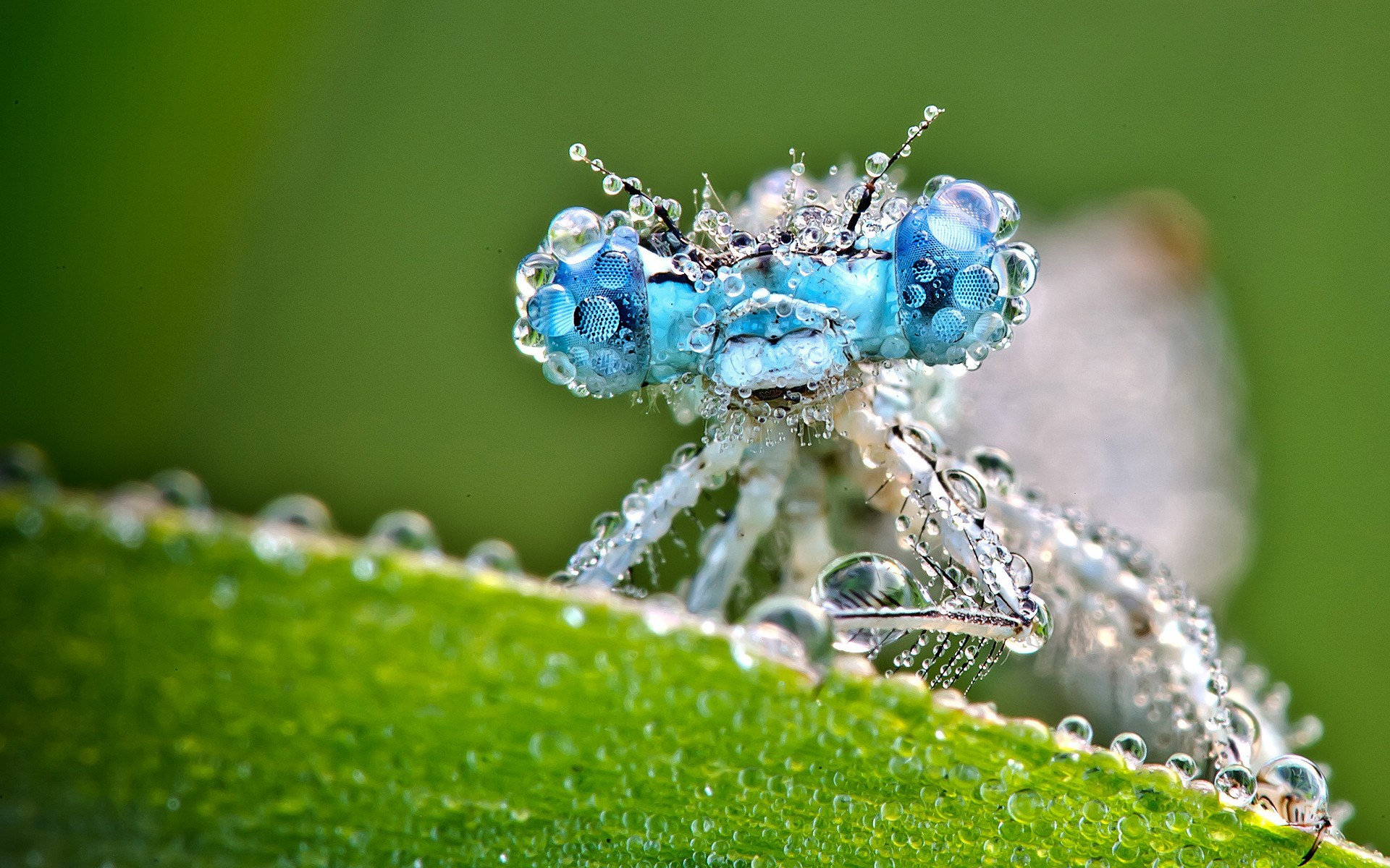 Dragonfly Insect Dew Drops Leaf Close Up HD Wallpaper