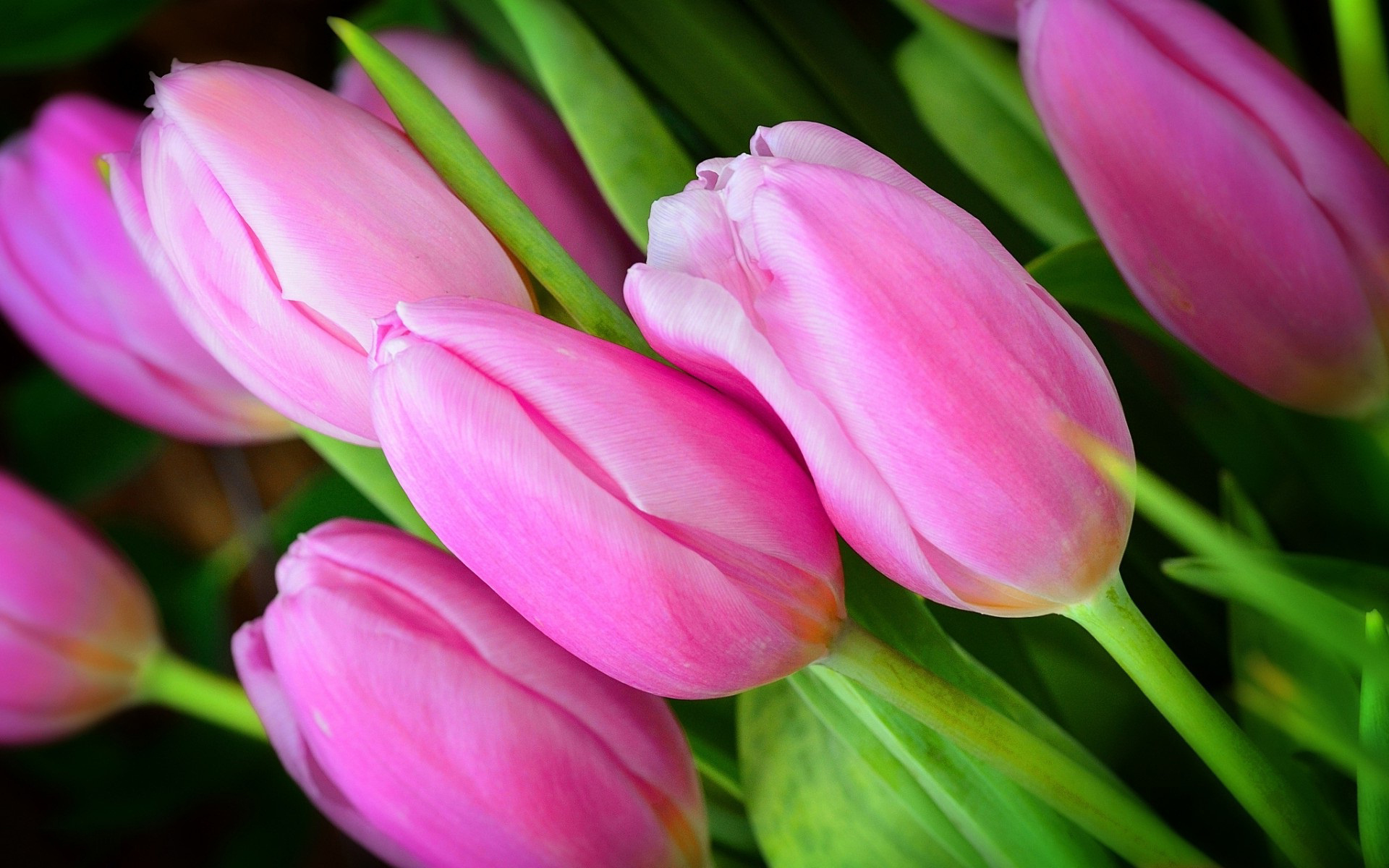 Pink tulip buds flower