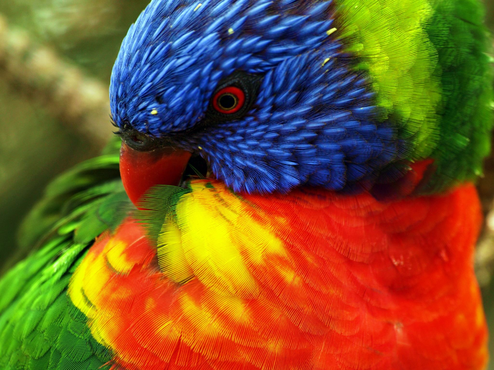 Animals birds close-up parrots rainbow lorikeet 2048x1536