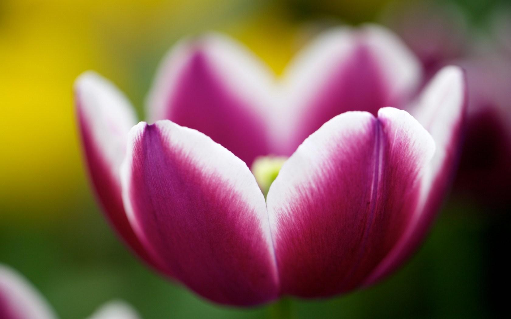 Flower Tulip Macro Close-Up