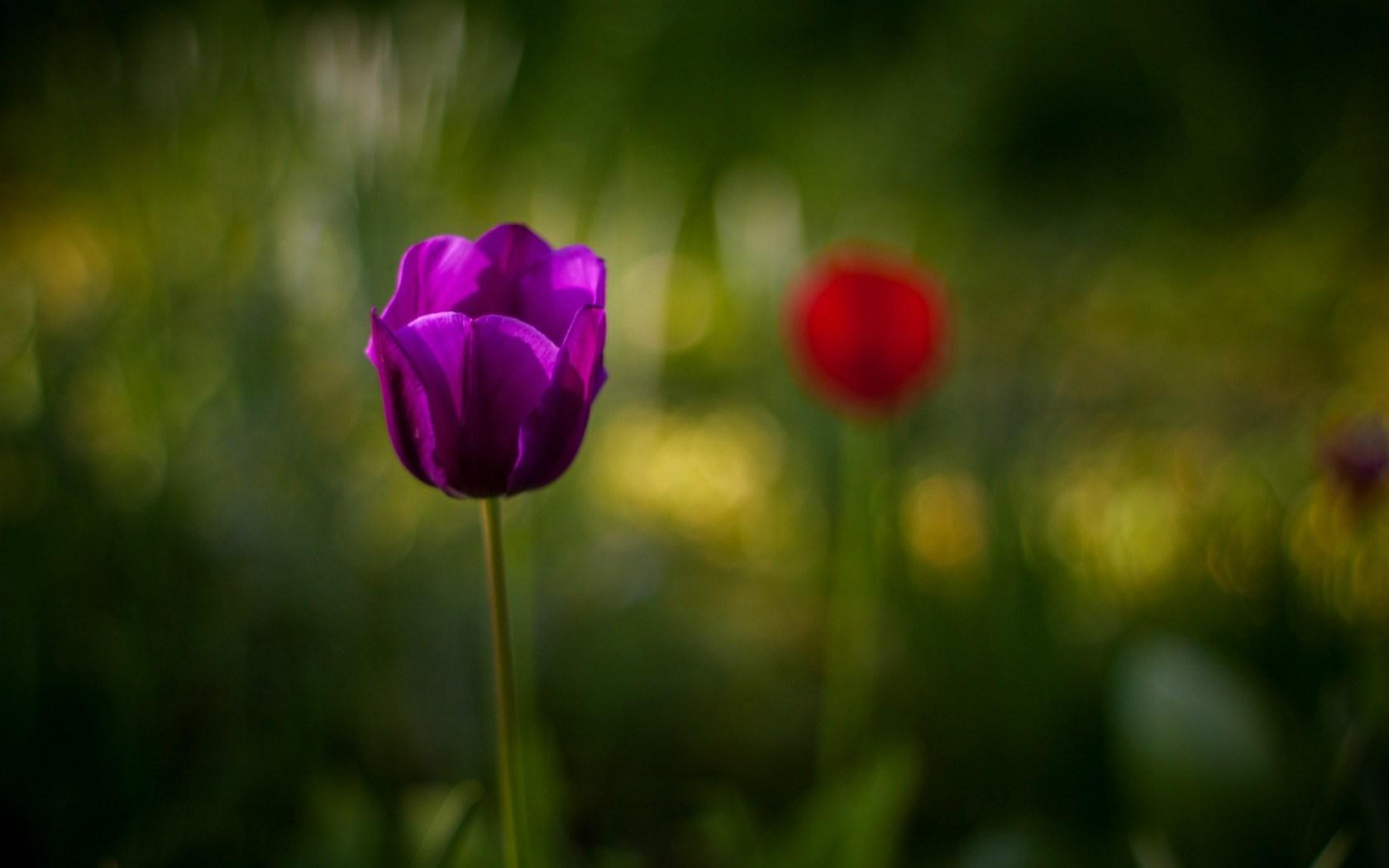 Tulip Purple Flower Close Up