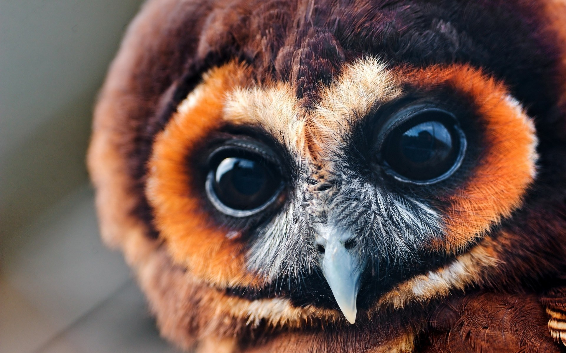 Close-Up Owl