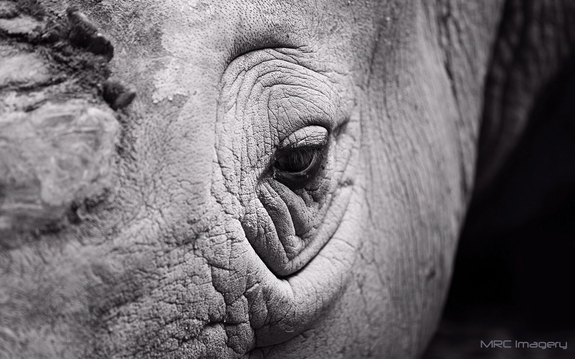 Rhinoceros Eye Close-Up