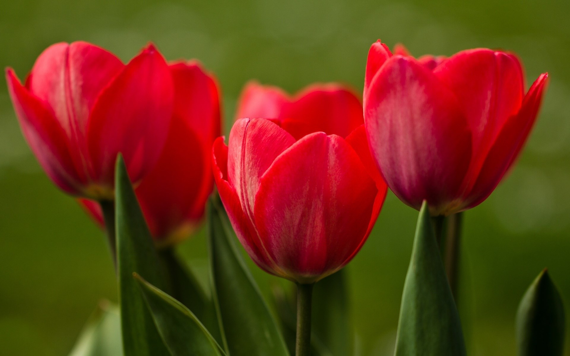 Red Tulips Close-Up Nature