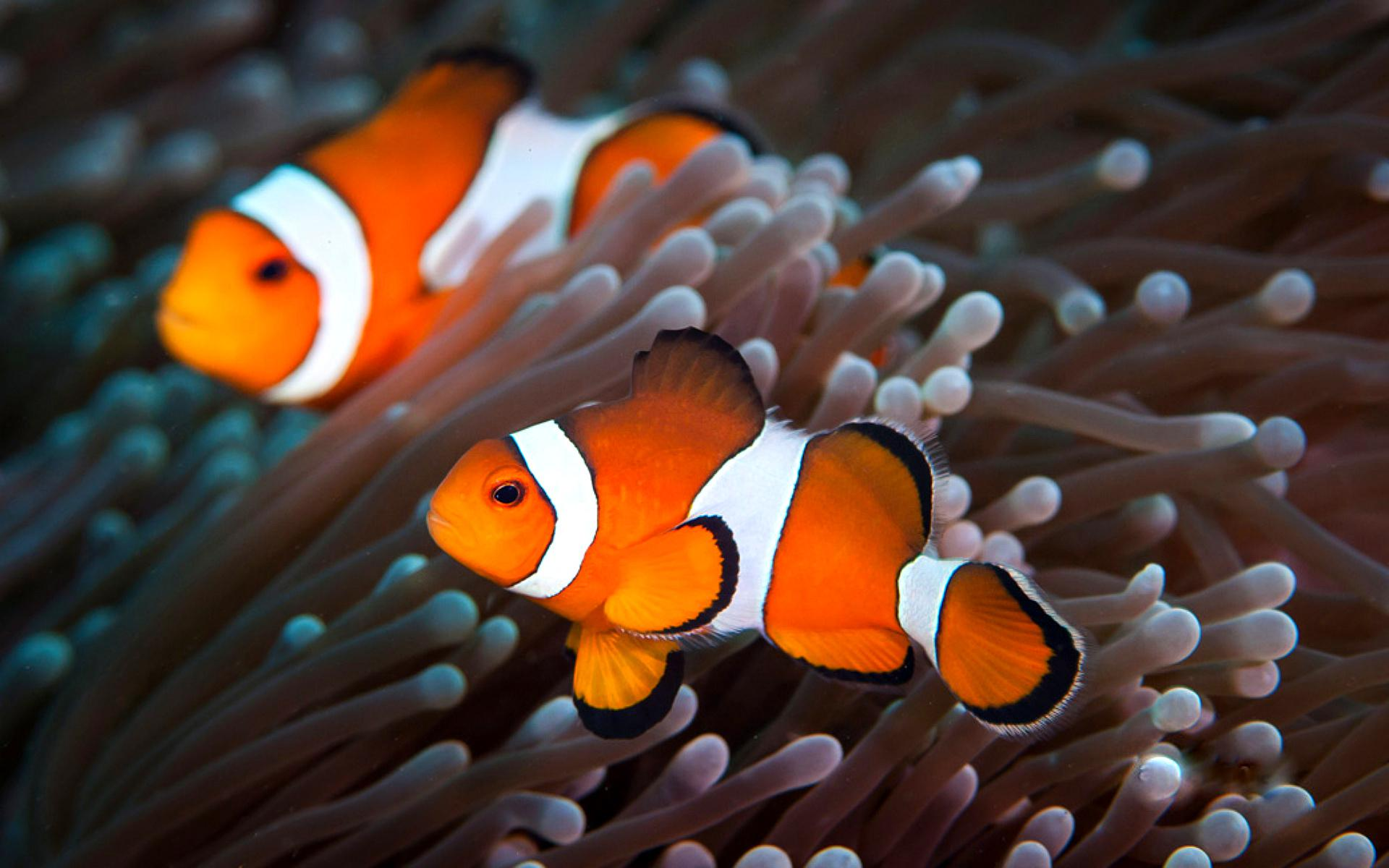 Clownfish pictures wallpaper 1920x1200 12279 for What do clown fish eat