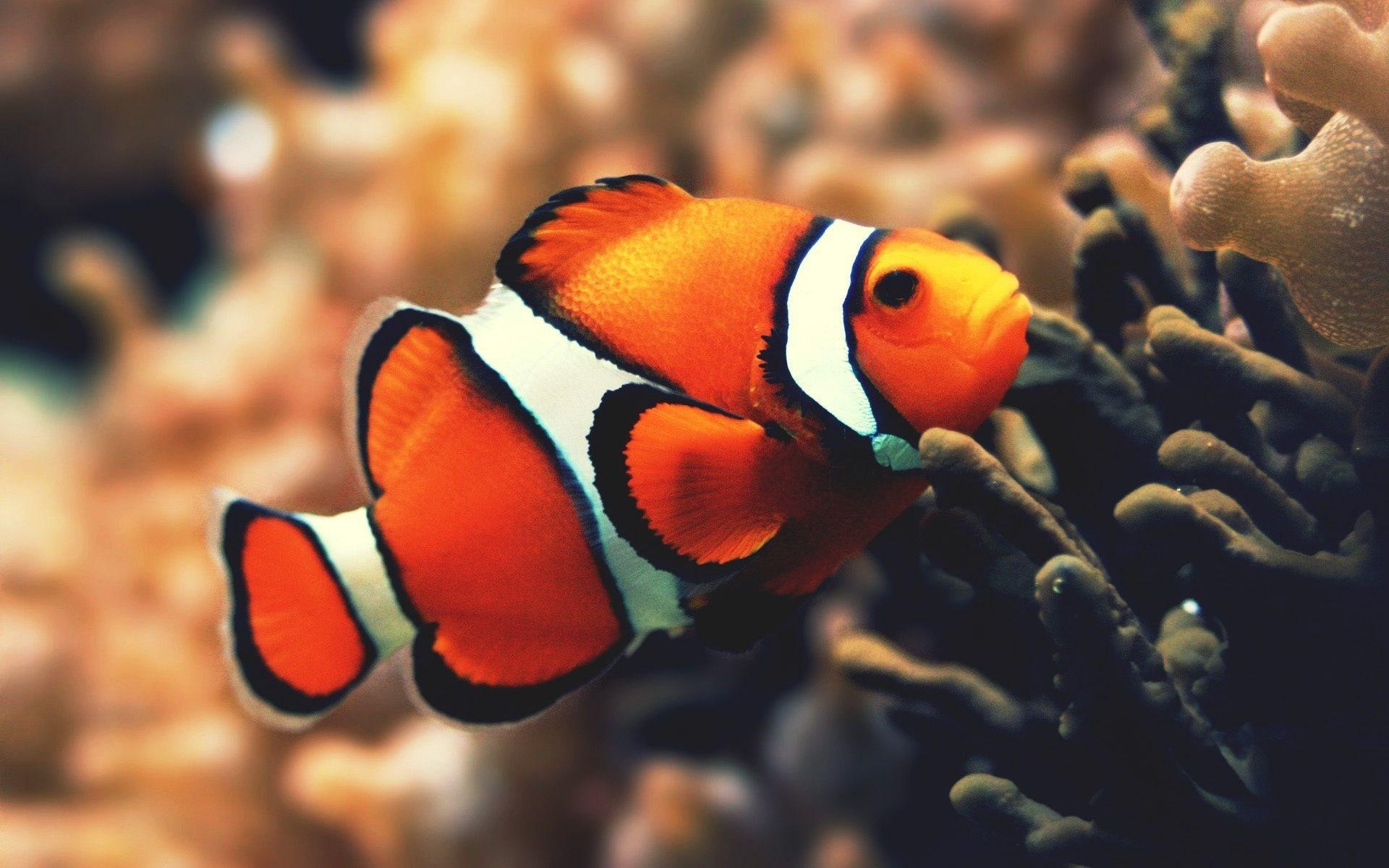 Clownfish Underwater